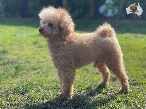 Baxter - Toy Poodle.jpg