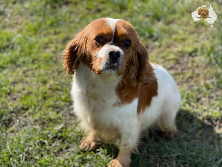 Marly- our king charles cavalier spaniels