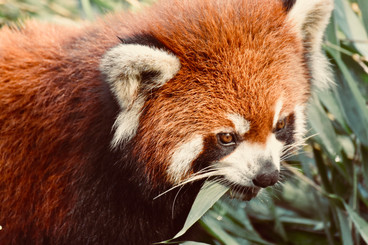 Red Panda, Chengdu