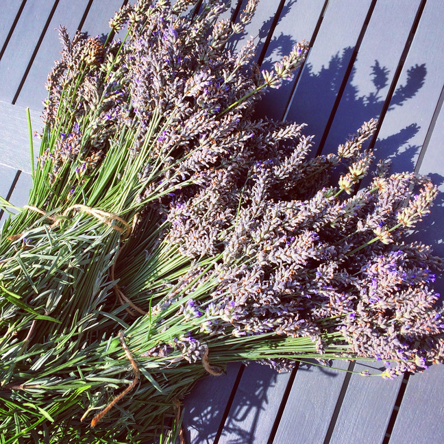 Freshly Cut Isle of Wight Lavender