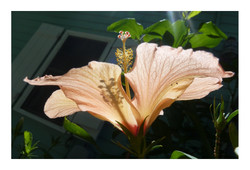 Hibiscus showing off