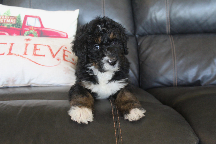 Tri-color bernedoodle