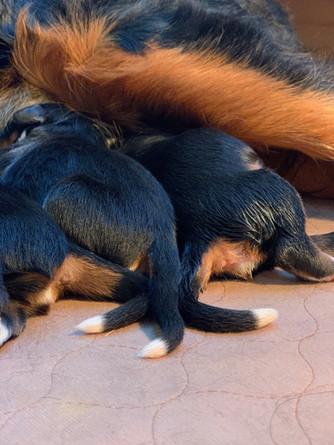 Newborn Bernese Mountain dog puppiesb