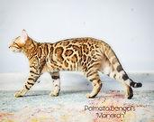 """Palmetto Bengal's """"Monarch"""""""