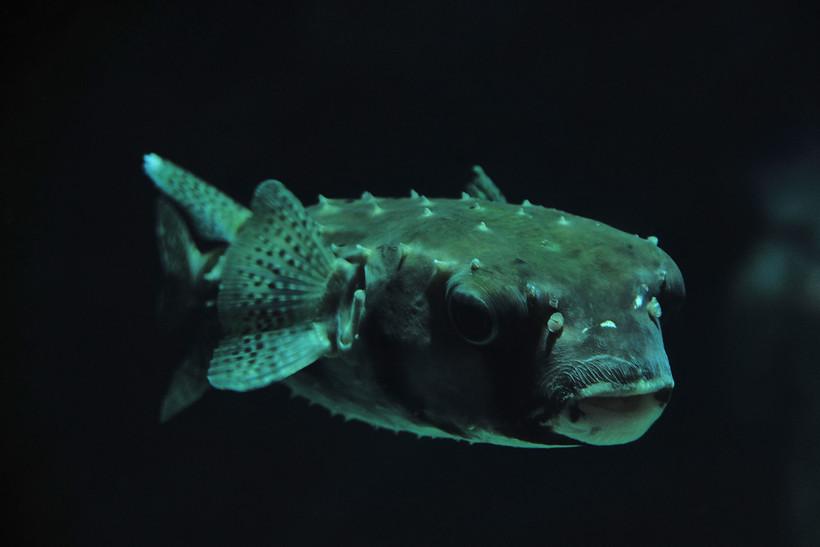 sleeping fugu
