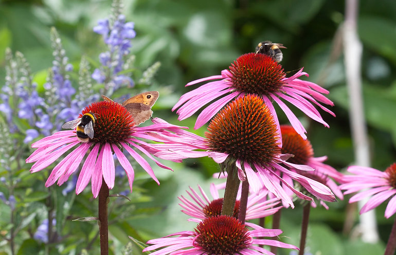 Echinacea flowers with bumblebees and bu