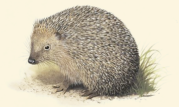 hedgehogyellow.png