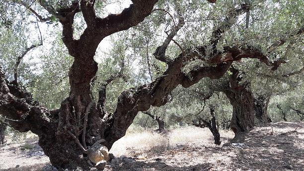 Mehrere Generationen bewirtschaften nun schon diese wunerschönen Olivenhaine auf der Insel Zakynthos