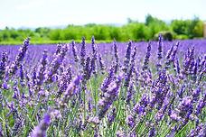 Lavendel aus kontrolliert biologischem Anbau