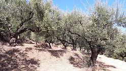 Olivenhain Zakynthos