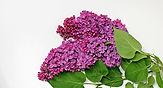 lilac-1386019_1920.jpg