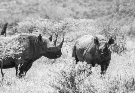 Rare Black Rhinos in South Africa