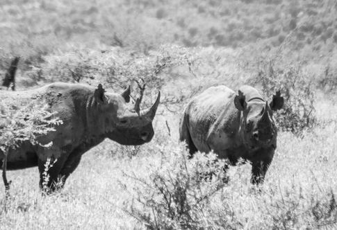 Rare Black Rhinos in South Africa