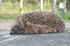 hedgehog-3930814_1920.jpg