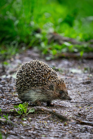 standing-hedgehog-2923830.jpg