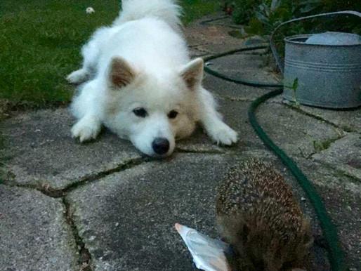 Hunde og pindsvin