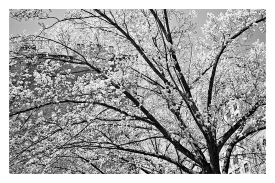 WHITE CHERRY #1 B&W