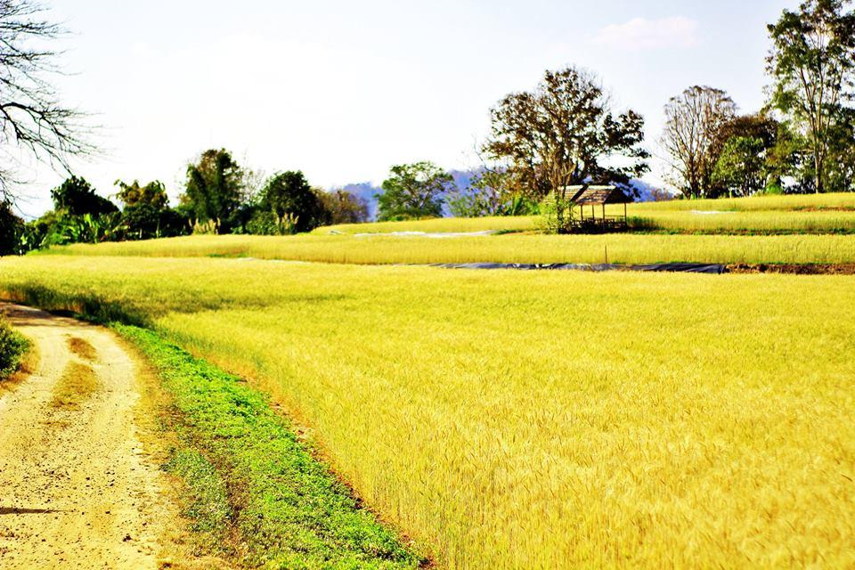 Barley Field Chiang Mai Thailand Samoeng