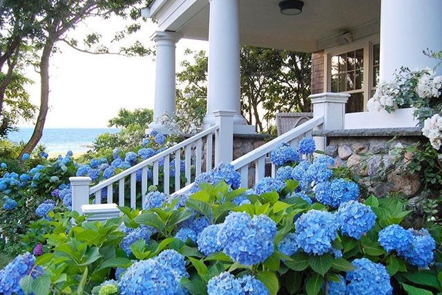Hydrandea's in full bloom on the Cape.