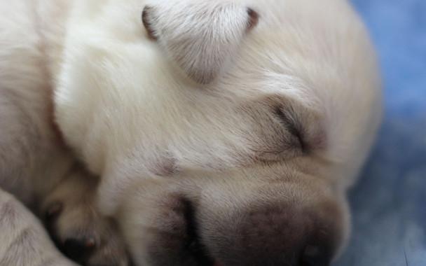 Balardor-Labrador-Welpen-Woche-2-17.jpg