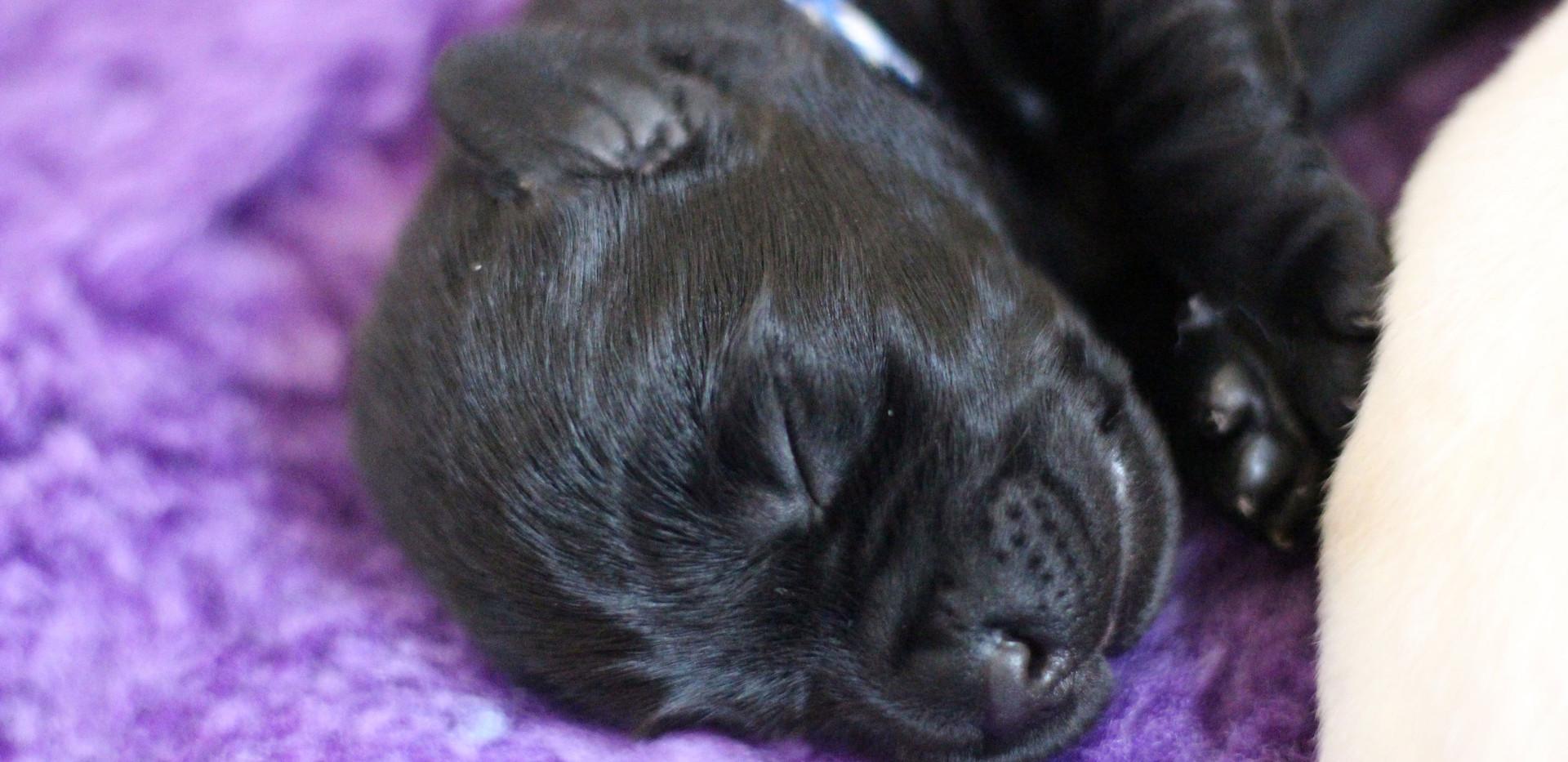 Balardor-Labrador-Welpen-Woche-2-14.jpg
