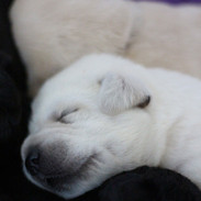 Balardor-Labrador-Welpen-Woche-2-30.jpg