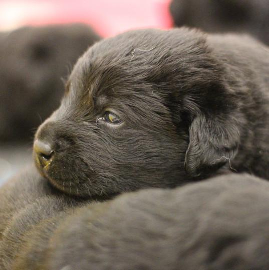 Balardor-Labrador-Welpen-3.-Woche-Shalim