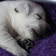 Balardor-Labrador-Welpen-Woche-2-33.jpg