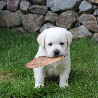 Balardor-Labrador-Kennel-Pia-Banach---We