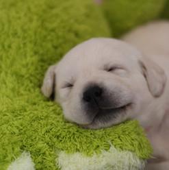 Pia-Banach-Balardor-Labrador-Kennel-welp