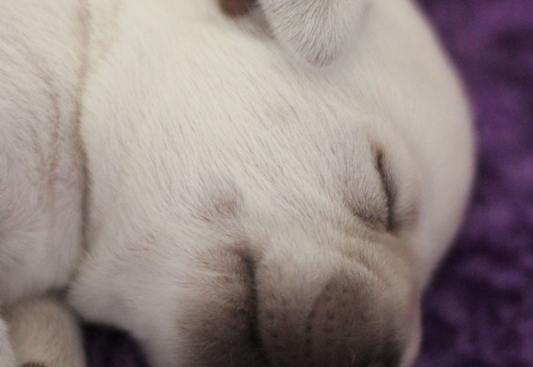 Balardor-Labrador-Welpen-Woche-2-13.jpg