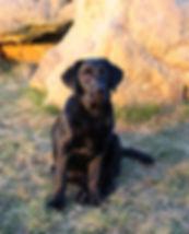 Ella A Sense Of Pleasue Labrador