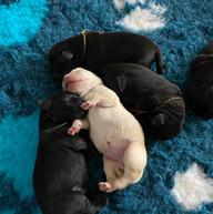 Balardor Labrador Kennel Welpen C-Wurf