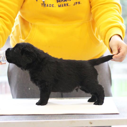 Balardor Labrador Welpen