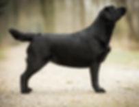 Labrador Zucht Balardor Züchter im VDH/LCD