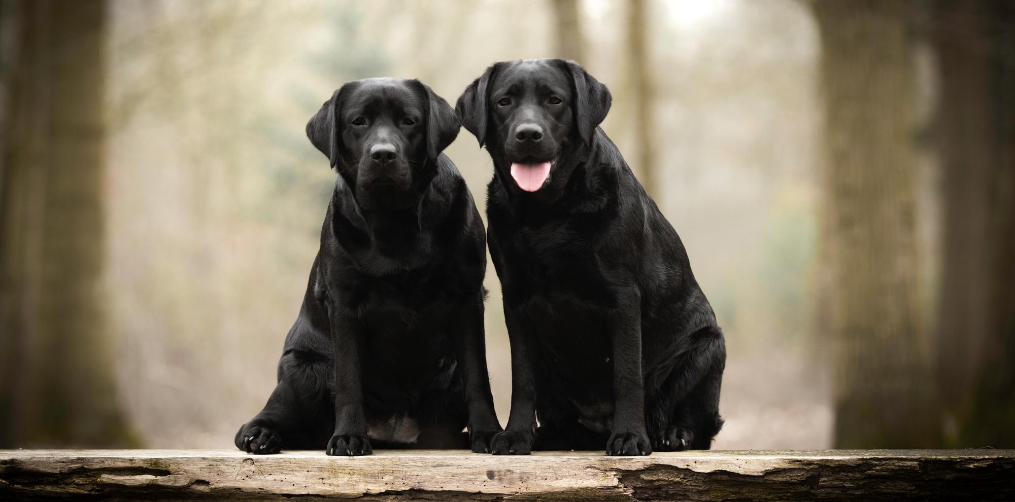 Balardor Labrador Zucht Züchter