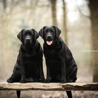 A Sense of Pleasure Afra Labrador Kennel