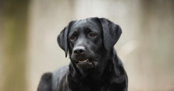 Balardor Labrador Züchter Kennel