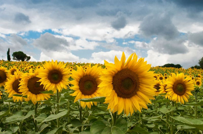 zonnebloemen-weken_n.jpg