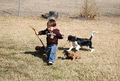 cavalier breeder texas