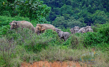 Herd of Elephants  seen from island.jpg