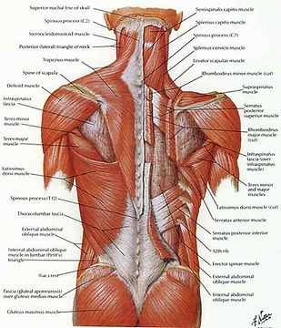 Anatomy-of-the-back.jpg