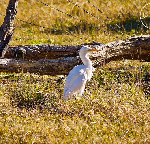 A Cattle Egret watching for insects fleeing from the grass around the feeding cattle