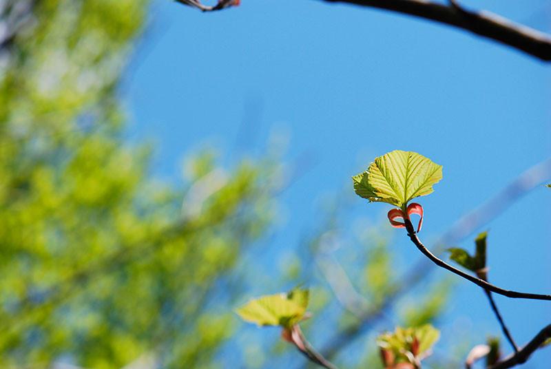 ウリハダカエデの葉