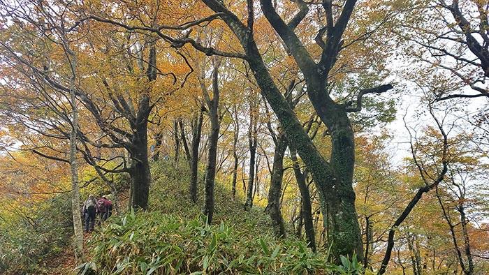ブナ林の縦走路