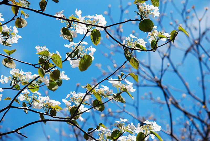 日にすけるムシカリの花