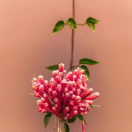 FLOWER ON VINE