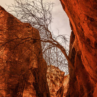 TREE OF PETRA
