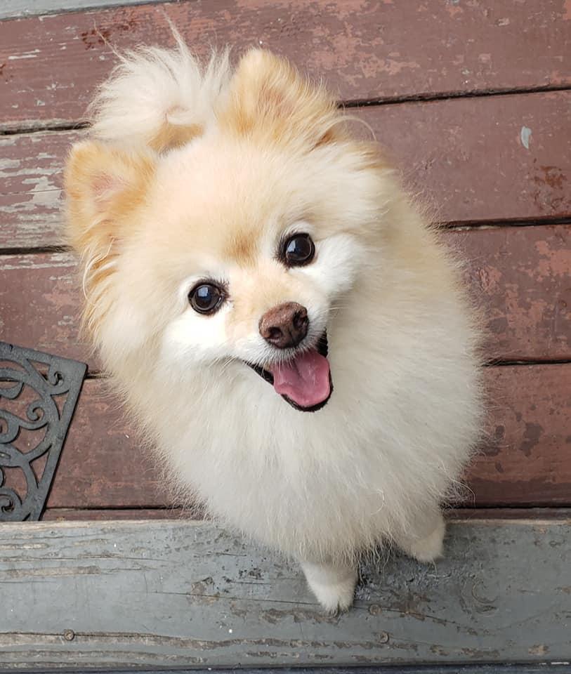 Pomeranians need daily grooming