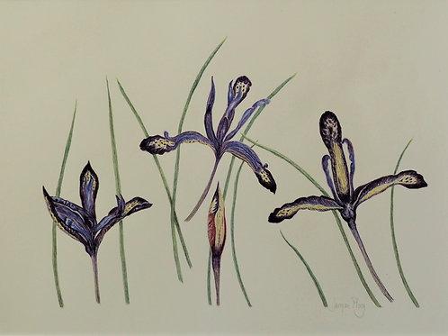 Iris Reticulata by Jacqueline Ploog